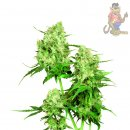 SensiSeeds Jack Flash Seeds 10er
