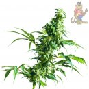SensiSeeds Mexican Sativa Seeds 10er