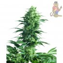 SensiSeeds Mothers Finest Seeds 10er
