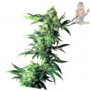 SensiSeeds Northern Lights Seeds 10er