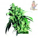 SensiSeeds Super Skunk Seeds 10er regul�r