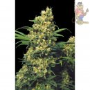 Serious Seeds Warlock Seeds 6er