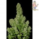 Serious Seeds White Russian Autoflowering 6er