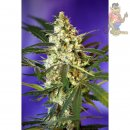 Sweet Seeds AUTO Fast Bud Seeds
