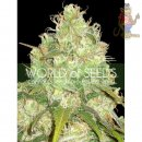 WOS Afgan Kush x Yumbolt Seeds Medical Collection Seeds 3er