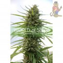 WOS Kilimanjaro Seeds Pure Origin Collection Seeds 3er