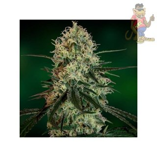 Barneys Farm Chronic Thunder Seeds