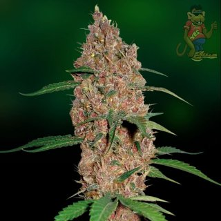 Barneys Farm Laughing Buddha Seeds