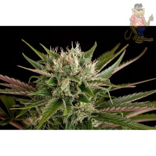 DINAFEM Blue Cheese Seeds 3er