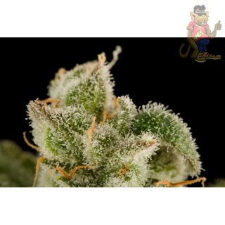 DINAFEM Blue Thai Seeds 3er