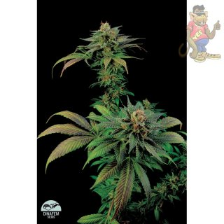 DINAFEM Blue Widow Seeds