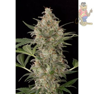 DINAFEM Cheese AUTO Seeds