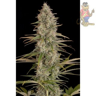DINAFEM Critical Jack Seeds