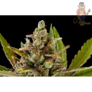 DINAFEM Big Kush Seeds