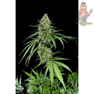 DINAFEM Critical Cheese Seeds