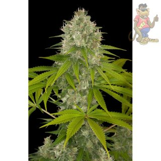 DINAFEM Power Kush Seeds 5er