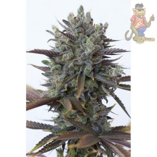 DINAFEM Purple Orange CBD Seeds