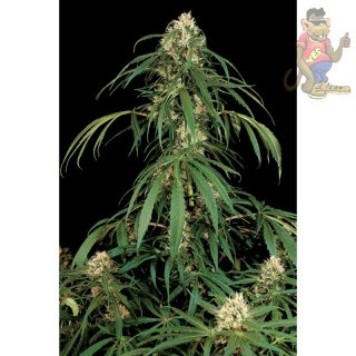 DINAFEM Super Silver Seeds
