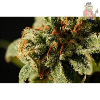 DINAFEM Sweet Deep Grapefruit Seeds 5er