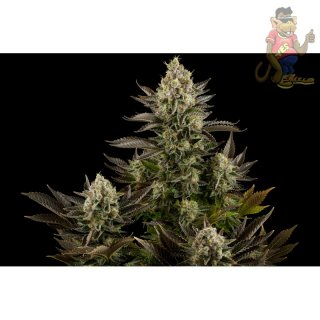 DINAFEM White Widow Seeds