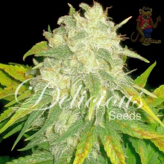 Delicious Il Diavolo Seeds 3er