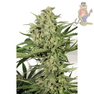 Dutch Passion Dutch Cheese Seeds 3er