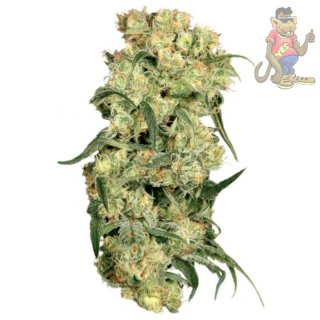 Dutch Passion Freddys Best Seeds