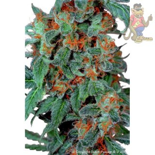 Dutch Passion Desafr�n Seeds