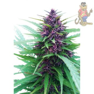 Dutch Passion Shaman Seeds