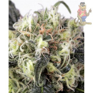 Dutch Passion Snowbud Seeds