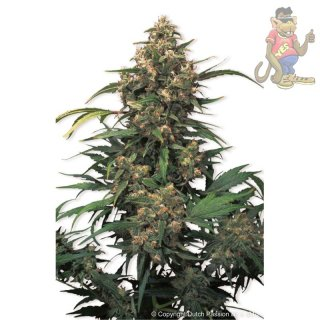 Dutch Passion Strawberry Cough Seeds 5er