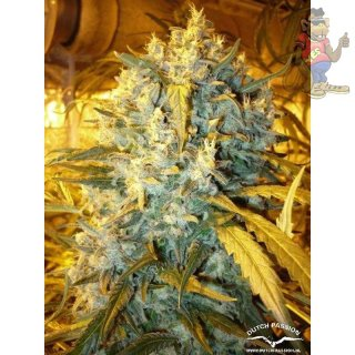 Dutch Passion Think Fast Seeds