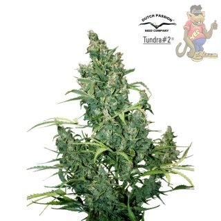 Dutch Passion Tundra AUTO Seeds 7 St�ck