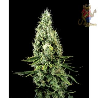 Greenhouse Arjans Haze #3 Seeds