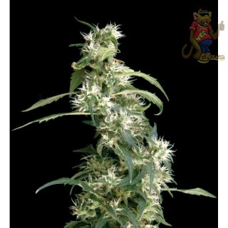 Greenhouse Arjans Ultra Haze #2 Seeds