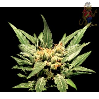 Greenhouse Diamond Girl Seeds