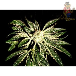 Greenhouse Kaia Kush Seeds
