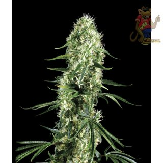 Greenhouse Super Silver Haze CBD Seeds