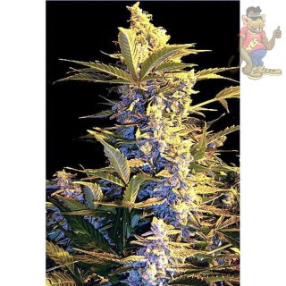 Joint Doctor Easy Ryder Seeds