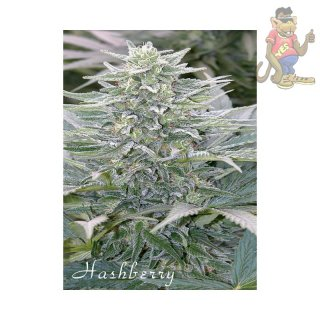 Mandala Hashberry Seeds 10er