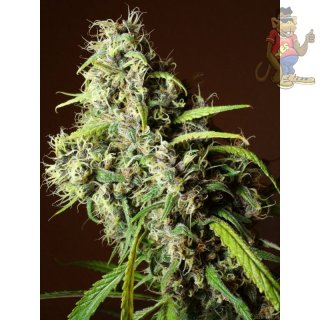Mandala Speed Queen Seeds 10er