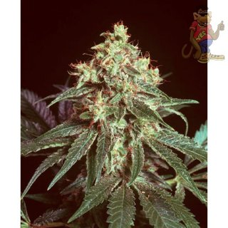 Mr. Nice Devil Seeds 15er