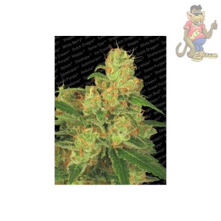 Sensi Seeds Sugar Babe AUTO Seeds