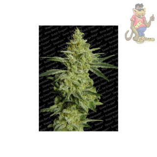 Paradise Seeds Allkush Reg Seeds