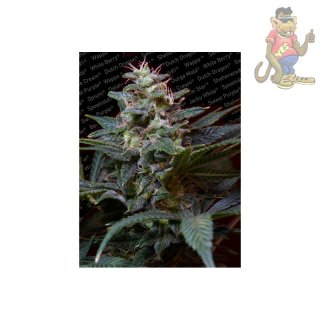 Paradise Seeds Sweet Purple Seeds