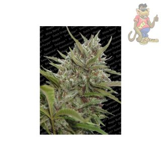 Paradise Seeds White Berry AUTO Seeds 3er