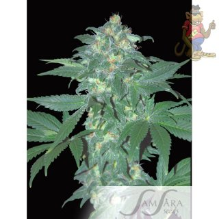 Samsara Ultraviolet Automatic Seeds 10er