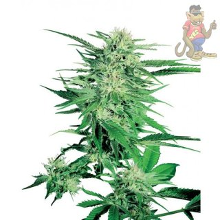SensiSeeds Big Bud Seeds