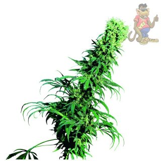 SensiSeeds Early Pearl Seeds 10er