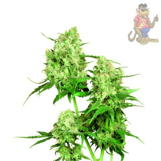 SensiSeeds Maple Leaf Indica Seeds 10er